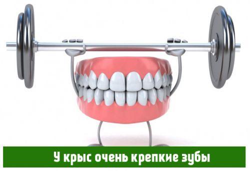 У крыс очень крепкие зубы